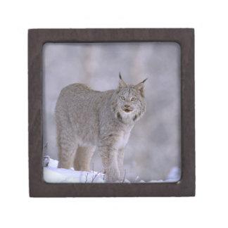North America, USA, Alaska, Haines. Lynx (Felis Premium Trinket Box