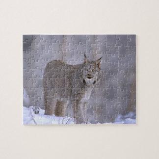 North America, USA, Alaska, Haines. Lynx (Felis Puzzle