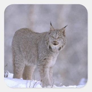 North America, USA, Alaska, Haines. Lynx (Felis Square Sticker