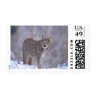 North America, USA, Alaska, Haines. Lynx (Felis Stamp