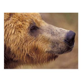 North America, USA, Alaska, Katmai NP. Brown Postcard