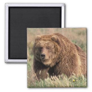 North America, USA, Alaska, Kodiak Island, 2 Inch Square Magnet