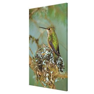 North America, USA, Alaska. Rufous Humming bird Canvas Print