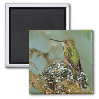 North America, USA, Alaska. Rufous Humming bird Magnet