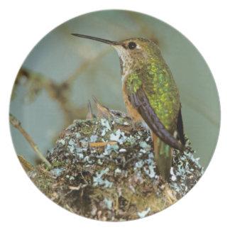 North America, USA, Alaska. Rufous Humming bird Melamine Plate