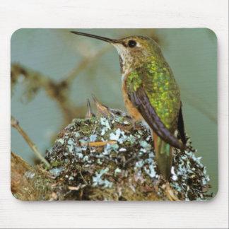 North America, USA, Alaska. Rufous Humming bird Mouse Pad