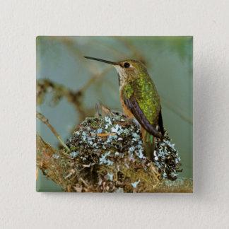 North America, USA, Alaska. Rufous Humming bird Pinback Button