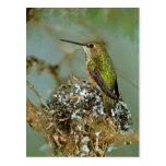 North America, USA, Alaska. Rufous Humming bird Postcard