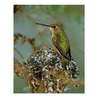 North America, USA, Alaska. Rufous Humming bird Poster