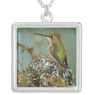 North America, USA, Alaska. Rufous Humming bird Silver Plated Necklace