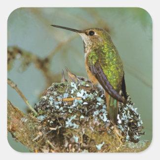 North America, USA, Alaska. Rufous Humming bird Square Sticker