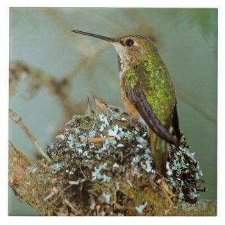North America, USA, Alaska. Rufous Humming bird Tile