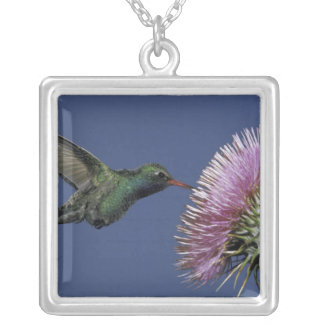 North America, USA, Arizona. Broad-billed Silver Plated Necklace