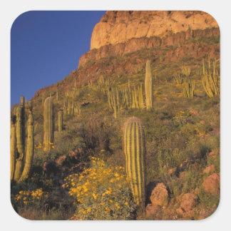 North America, USA, Arizona, Organ Pipe Cactus 2 Square Sticker