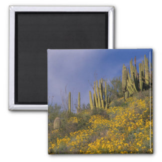 North America, USA, Arizona, Organ Pipe Cactus Magnet