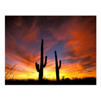 North America, USA, Arizona, Sonoran Desert. Postcard