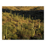 North America, USA, Arizona, Sonoran Desert Poster