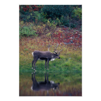 North America, USA, Denali NP, Caribou Posters
