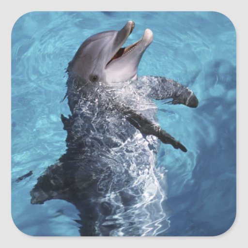 North America, USA, Hawaii. Dolphin 2 Square Stickers