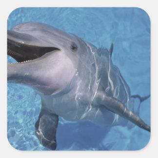 North America, USA, Hawaii. Dolphin 3 Square Sticker