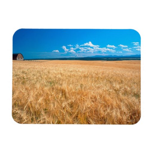 North America, USA, Idaho. Barley field in Flexible Magnet