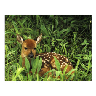 North America, USA, Minnesota. White-tailed Postcard