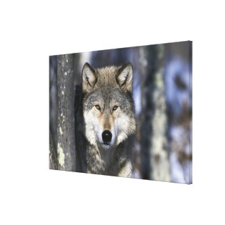North America, USA, Minnesota. Wolf Canis 2 Canvas Print