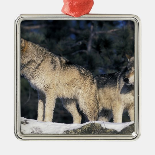 North America, USA, Minnesota. Wolf Canis 2 Metal Ornament