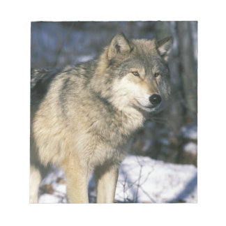 North America, USA, Minnesota. Wolf (Canis 2 Notepad