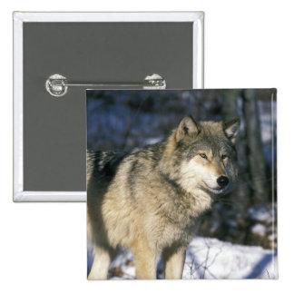 North America, USA, Minnesota. Wolf (Canis 2 Pinback Button