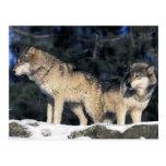 North America, USA, Minnesota. Wolf Canis 2 Postcards