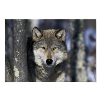 North America, USA, Minnesota. Wolf Canis 2 Poster