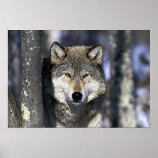 North America, USA, Minnesota. Wolf Canis 2 Poster