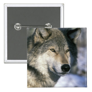 North America, USA, Minnesota. Wolf Canis 3 Button