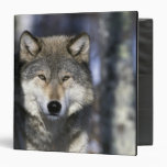 North America, USA, Minnesota. Wolf Canis Binder