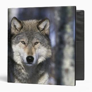 North America, USA, Minnesota. Wolf Canis Binder