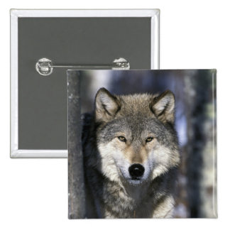 North America, USA, Minnesota. Wolf Canis Buttons