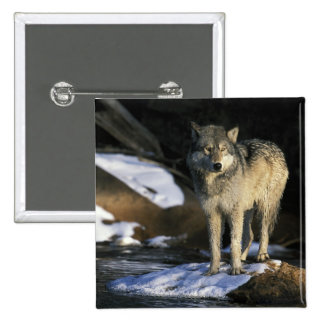 North America, USA, Minnesota. Wolf (Canis Button