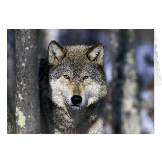 North America, USA, Minnesota. Wolf Canis Card
