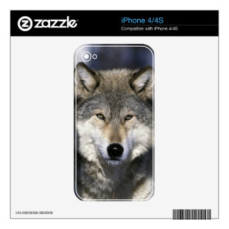 North America, USA, Minnesota. Wolf Canis Decal For The iPhone 4