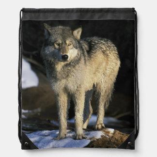 North America, USA, Minnesota. Wolf (Canis Drawstring Backpacks