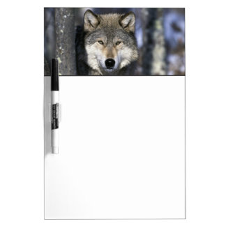 North America, USA, Minnesota. Wolf Canis Dry-Erase Board