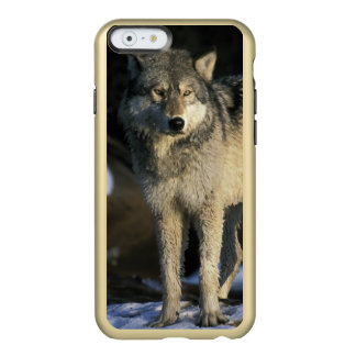 North America, USA, Minnesota. Wolf (Canis Incipio Feather® Shine iPhone 6 Case