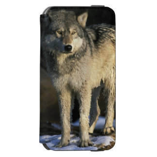 North America, USA, Minnesota. Wolf (Canis iPhone 6/6s Wallet Case
