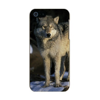 North America, USA, Minnesota. Wolf (Canis Metallic iPhone SE/5/5s Case
