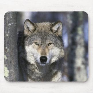 North America, USA, Minnesota. Wolf Canis Mouse Pad