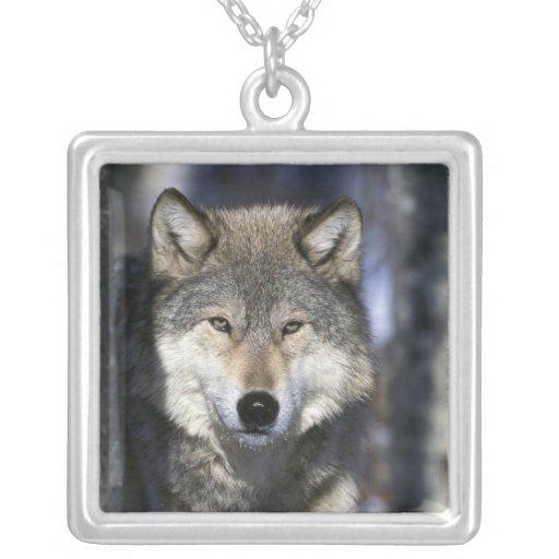 North America, USA, Minnesota. Wolf Canis Custom Jewelry
