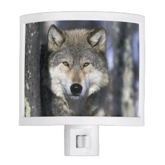 North America, USA, Minnesota. Wolf Canis Night Light