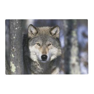 North America, USA, Minnesota. Wolf Canis Laminated Place Mat