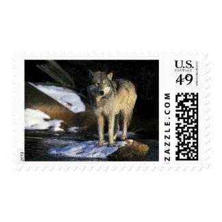 North America, USA, Minnesota. Wolf (Canis Postage Stamps